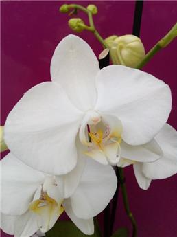 Orchidee Phalaenopsis