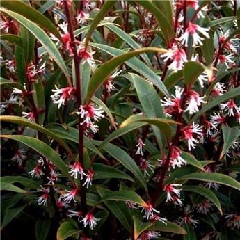 Sarcococca hookeriana  Purple Stem c7.5