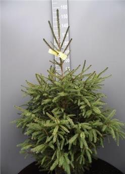Picea Abies 1er choix Pot 80/100