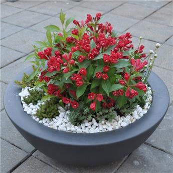 Weigelia flor All Summer Red c10