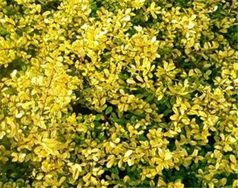 Ilex crenata Golden Gem P10