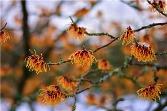 Hamamelis int. Orange Beauty 50 60 cm