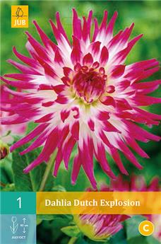 Dahlia Dutch Explosion * 1 Pc