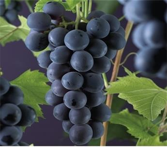 Vitis vinifera Rembrandt Pot C3
