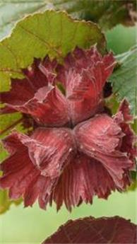 Corylus avellana Rouge de Zeller Pot P28