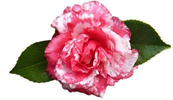 Camellia japonica Kasuga Yama Pot C7.5 ** 7 ans **
