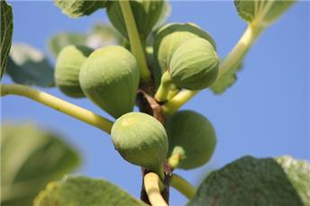 Ficus carica St Pierre Pot C5