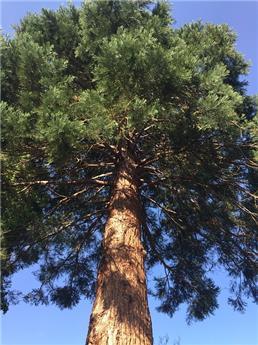 Sequoiadendron giganteum c12 80