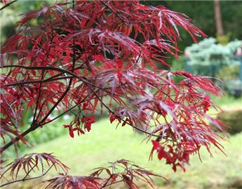 Acer palmatum Fire Cracker Pot C14