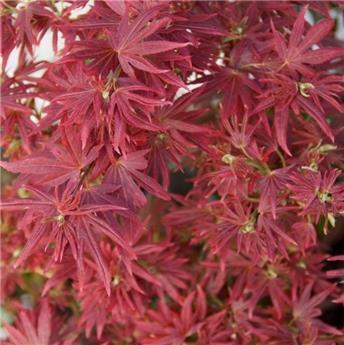Acer palmatum Shaina Tronc 90 cm Pot C30