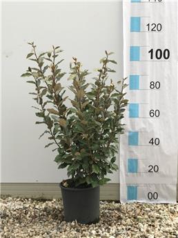 Elaeagnus ebbingei Compacta 80 100 Pot C7L ** Bien touffu et dense **
