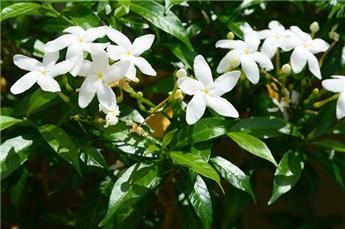Trachelospernum jasminoides Pot C5 180
