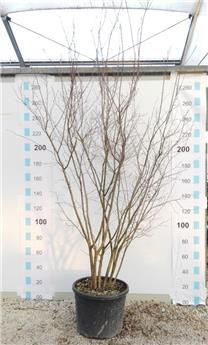 Amelanchier lamarckii cépée multi-tronc 200 250 Pot C50