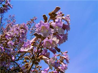Paulownia tomentosa tige 150 200 Pot C15