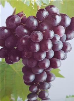 Vitis vinifera Heike Pot C3 ** Sans pépins et résistant aux maladies **