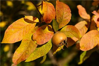 Néflier Mespilus germanica Buisson Pot