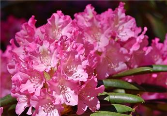 Rhododendron x Cosmopolitan 60 70 Pot C10