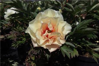 Paeonia Itoh Canary Brilliants Pot C10
