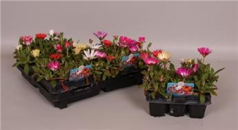 Mesembryanthemum / Pack de 6 plantes  **vendus uniq. / pack complet **