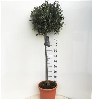 Olea europea Pot P36 Tige 80-100 cm