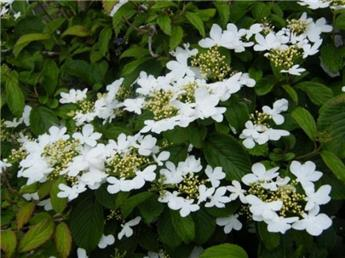 Viburnum plicatum Watanabe / tige 90 c7.5