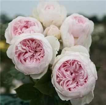 Rosier Herzogin Christina® (Syn. La Belle Rouet) Pot C5L **Parfumé / Résistant**