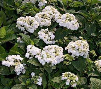 Hydrangea serrata Wedding Gown Pot C5