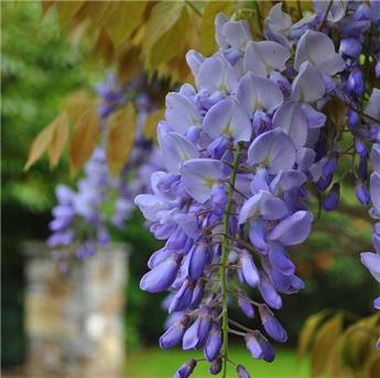 Wisteria floribunda Eranthema Pot C10