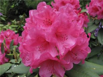 Rhododendron Anna Rose Whitney 100 125 Pot Forte plante