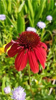 Echinacea purpurea Eccentric C2L
