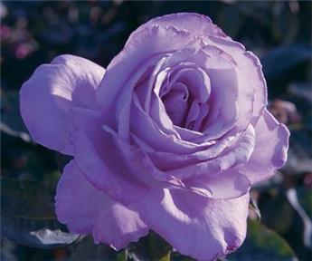Rosier Blue Girl® Pot C5L **Parfumé**