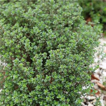 Thymus citriodorus MIX - THYM CITRON P18