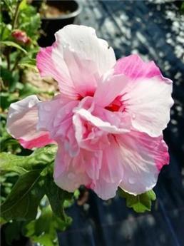 Hibiscus syr. Leopoldii C3