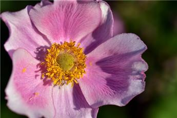 Anemone hupehensis Japonica Pot P23