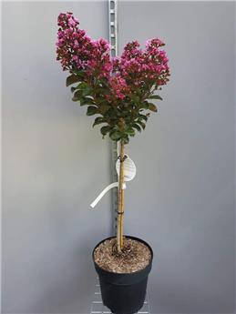 Lagerstroemia indica Rhapsody In Pink sur Tige 80 cm Pot C10