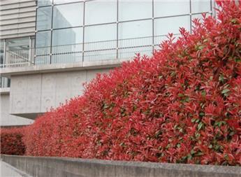 Photinia Fraseri Carré Rouge C7.5 L ** Plus compact, moins de taille**