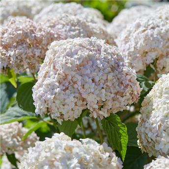 Hydrangea arb Candybelle® Marshmallow P21