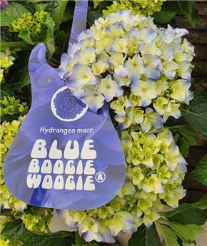 Hydrangea mac Music Boogie Boogie Pot P23