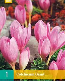 Colchicum Giant * 1 pc cal.20/22