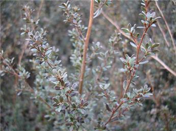 Leptospermum Lanigerum Silver Sheen C.2L