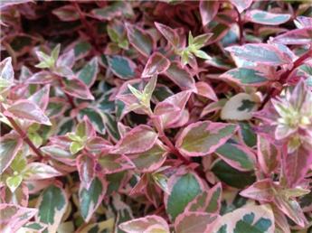 Abelia grandiflora Pink Lady P26