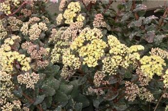 Sedum telephium Green Yellow Pot P15