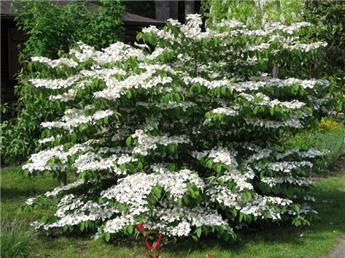 Viburnum plicatum Mariesii Pot C5